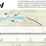 The mitoWheel – Visualize the Mitochondrial Genome