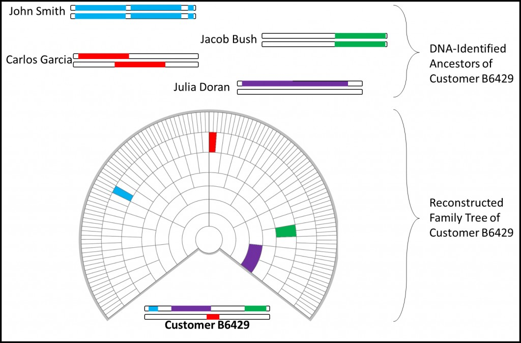 Customer B6429 possesses segments of DNA from four different reconstructed genomes.  This information is used to create a Reverse Family Tree with the identified ancestors mapped to it in the most likely configuration based on the size of the segments, established genealogies, and several other factors.